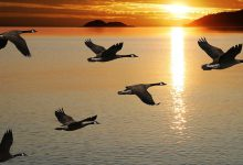 geese-1050x700-1475842693966-118-0-654-1050-crop-1475842733315